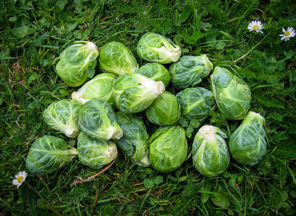 IMG_1855 Brussels sprouts